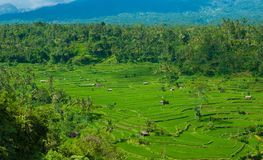 Rice terraces on the volcano Agung. Stock Photography