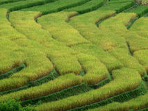 Rice Terrances Royalty Free Stock Images