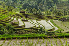 Rice terrases in Jatiluwih. Royalty Free Stock Photos