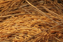 Rice. Thai rice of farmar Stock Photos