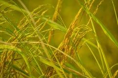 Rice Thailand royalty free stock photos
