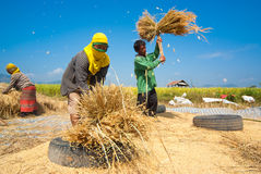 Rice threshing in Thailand Royalty Free Stock Image