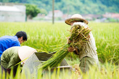 Rice threshing in Vietnam Royalty Free Stock Images