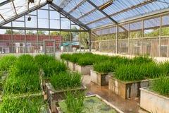 Rice transgenic Stock Photo