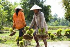 Rice Transplanting in Laos Royalty Free Stock Photo