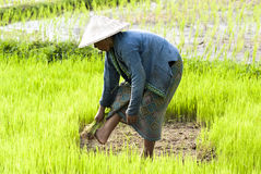 Rice Transplanting in Laos Stock Photo