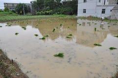 Rice transplanting Stock Image