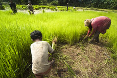 Rice transplanting in Siem Reap, Cambodia Royalty Free Stock Photography