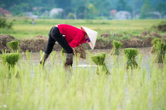 Rice transplanting in Vietnam Stock Image