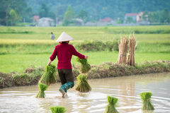 Rice transplanting in Vietnam Royalty Free Stock Photography