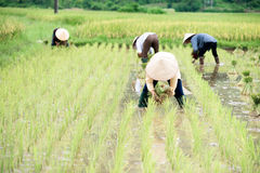 Rice transplanting in Vietnam Royalty Free Stock Image
