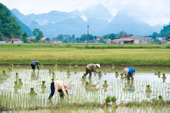 Rice transplanting in Vietnam Stock Photo