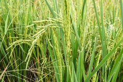 Rice tree Royalty Free Stock Photography