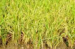 Rice tree Royalty Free Stock Photo