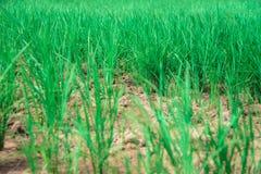 Rice tree Royalty Free Stock Photo