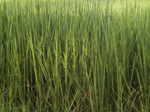 Rice Trees Stock Photo