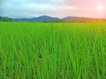 Rice field in Thailand. Rice is a type of grass genus Oryza that belongs to a family of plants that includes other cereals such as wheat and corn. Rice grain is royalty free stock photo