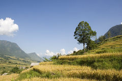 Rice Valley on a Sunny Day. This photo is from Sapa, Vietnam. Sapa is famous for rice and tourism. Many tourists are attracted to the pristine countryside and royalty free stock photos