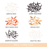 Rice varieties. Dark wild rice, risotto rice, jasmine rice, basmati, red cargo rice, rough rice . Vector illustration. Stock Image