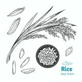Rice vector hand drawn illustration Stock Photography