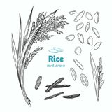 Rice vector hand drawn illustration Stock Image