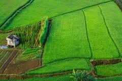 Rice, Vietnam. Rice at the Son la province, north Vietnam Stock Photography