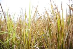 Rice w Bali Zdjęcia Stock
