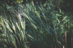 Rice w irlandczyka polu w wsi pszeniczna łąka w ziemi uprawnej Obrazy Royalty Free