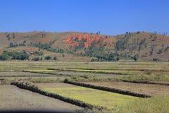 Rice w Madagascar Zdjęcia Royalty Free