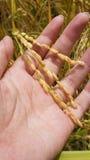 Rice w ręce Fotografia Stock