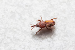 Rice weevil Stock Photos