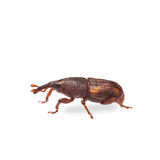 Rice weevil Stock Images