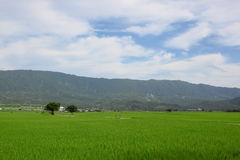 Rice and Wheat Farm at Mr Brown Avenue in Tai Tung. In Summer stock photo
