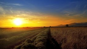Rice, wheat field against sunset during harvest. And combine harvester at background Royalty Free Stock Photos