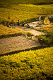 Rice and wheat fields, Kitipur, Nepal Stock Photos
