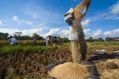 Rice Winnowing in Bali, Indonesia Royalty Free Stock Images