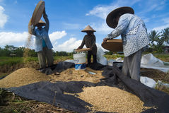 Rice Winnowing in Bali, Indonesia Stock Photography