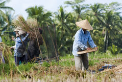 Rice Winnowing in Bali, Indonesia. BALI, INDONESIA – MAY 6: Rice winnowing in the field on May 6, 2013 in Bali, Indonesia. Bali is able to produce rice stock image