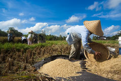 Rice Winnowing in Bali, Indonesia Royalty Free Stock Image