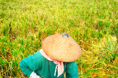 Rice worker Royalty Free Stock Photo