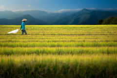 Rice worker walks through field Royalty Free Stock Photos