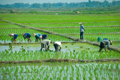 Rice workers Stock Photo