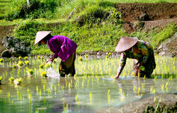 Rice-workers in Indonesia Royalty Free Stock Photos