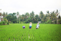 Rice workers in plantation Royalty Free Stock Photos