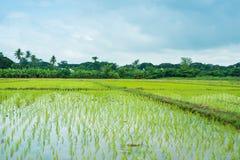 Rice zielonej trawy niebieskiego nieba śródpolny krajobraz obraz royalty free