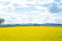 Rice zielonej trawy niebieskiego nieba śródpolny krajobraz obraz stock