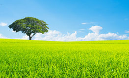 Rice zielonej trawy niebieskiego nieba śródpolny krajobraz zdjęcia stock