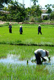 ricearbetare Arkivfoton