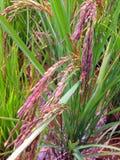 Riceberry Photos stock