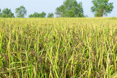 Riceberry rice. In the rice field Royalty Free Stock Images